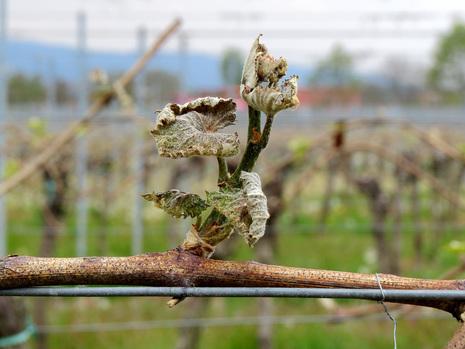Frostschäden an den Weinreben vor Neustadt/Weinstraße