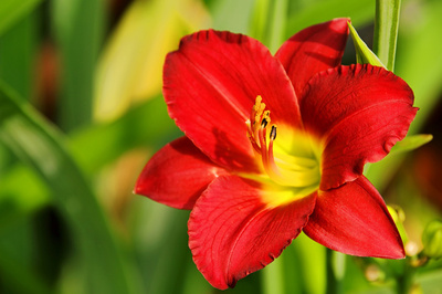 Blüte der Taglilie
